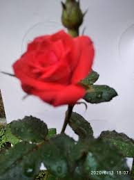 this is a beautiful red rose flower in