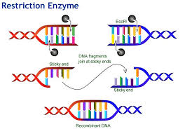 Restriction Enzyme Why Are Restriction Enzymes Important For Recombinant Dna Technology