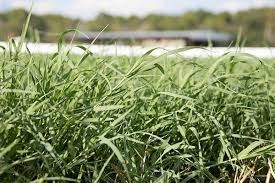 Nitrogen Recs For Tifton 85 Updated Hay And Forage Magazine