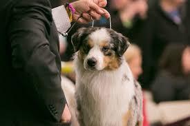 Facts On The Miniature Australian Shepherd Dog Breed