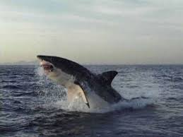 great white shark jumping at a helicopter during training. Contemporary Great Maxwell Was Interviewed By National Geographic Regarding The Fake Photo  And Responded U201cIu0027d Like To Make Contact With Person Who Did Thisu2014not Get  On Great White Shark Jumping At A Helicopter During Training