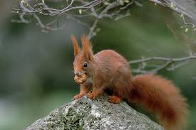 Squirrel Species Chart Gray Squirrels Are Smarter Than Red Squirrels