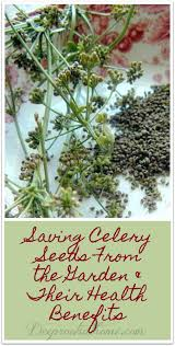 Saving Celery Seeds From the Garden & Their Health Benefits