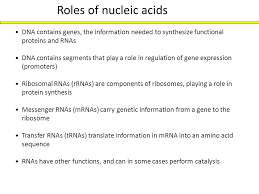 Functions Of Nucleic Acids Nucleotides And Nucleic Acidsjm Ppt Download