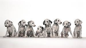 hd pics photos cute dalmatian many puppies dogs pet s hd quality desktop background wallpaper