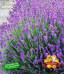 Bildergebnis für Bilder Lavendel kostenfrei