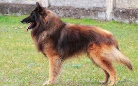 red belgian shepherd tervueren picture