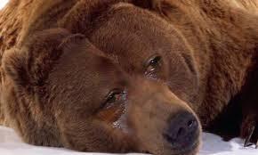 După evenimentul de ieri din Predeal, ministrul Mediului Tanczos Barna pledează pentru necesitatea diminuării numărului de urși: Nu există nicio specie care să pună în pericol populația de urși și numărul lor tot crește. Pericolul e tot mai mare
