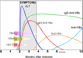 Hepatitis B V4 1 Hepatitis B Virology And Immunology