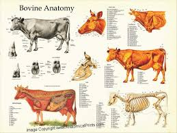 Cattle Chart Pin On Products