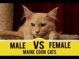 Male Vs Female Maine Coons Picking The Gender Maine