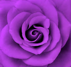 purple images purple roses hd wallpaper and background photos