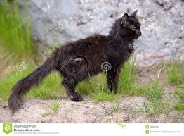 emaciated cat. Unique Emaciated Download Very Old Sick Emaciated Cat Stock Photo  Image Of Animals  Nature 58245442 With E