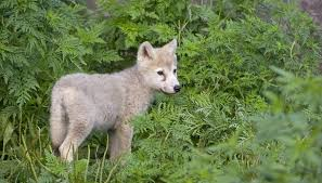 baby wolf. Wonderful Wolf Birth Of A Baby Wolf Intended Sciencing