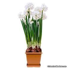 White Paper Flower Bulbs Paper White Bulb Urmilparikh