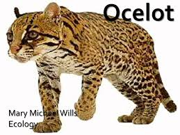 ocelot size mary michael wills ecology leopardus pardalis of the ocelot size