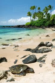 Hawaii Oahu North Shore Laniakea Beach Green Sea Turtle Chelonia D1234_3_268