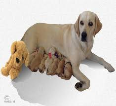 Stages Of Canine Labor When Your Dog Gives Birth