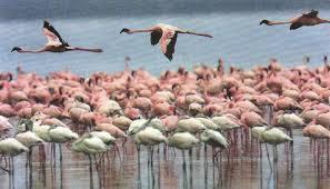Популяционные волны волны жизни Эволюционная биология  Рис 117 Популяция розовых фламинго