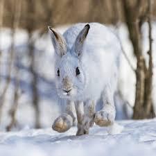 running snowshoe hare 13768495 framed