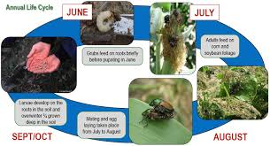 japanese beetles life cycle japanese beetle corn dupont pioneer