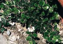 arctostaphylos emerald carpet a good deep green ground cover that gets lovely white