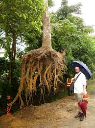 Tree Root Size Chart How Deep Do Tree Roots Really Grow Deeproot Blog