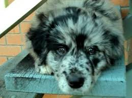 australian shepherd golden retriever mix. Modren Mix Australian Shepherd X Golden Retriever 8 Weeks Old On The Steps With Mix