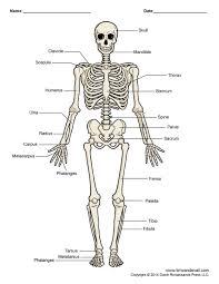 Human Bone Chart Printable Human Skeleton Diagram Labeled Unlabeled And Blank