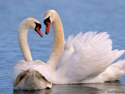 beautiful wild animals wallpapers. Interesting Wild Beautiful Antimated Swan  Wild Animals Desktop Wallpapers  Photography  Latest Cool  Intended Animals Wallpapers