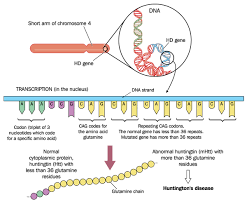 Huntington Disease Inheritance Pattern