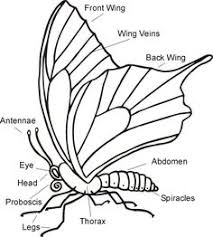 0763c890dbc6a5a1ddbb9ebccd96e123 butterfly drawing butterfly anatomy labeled diagram non fiction text structure literacy ideas for on crayfish dissection worksheet