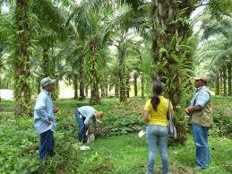 Resultado de imagen para sembradios de palma de aceite en colombia