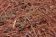 Jepson Flora Project: Jepson eFlora: Lathyrus ... - Jepson Herbarium