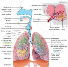 science health essay blog respiratory and circulatory systems  respiratory system2