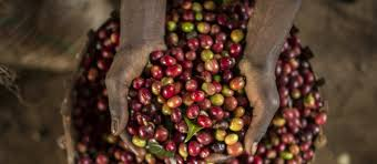 Caffeine is a mild stimulant* which occurs naturally in coffee and a number of other plants, such as tea. How Single Origin Coffee Is Made In Ethiopia