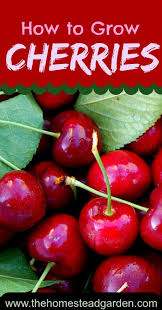 Pot A Fruit TreeCherry Fruit Tree Care