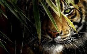 Tiger Hd Wallpapers (54+ best Tiger Hd ...
