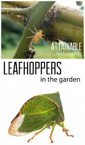 organic pest control for leafhoppers and treehoppers in the vegetable garden gardenpesttips