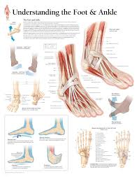 Left Foot Organ Chart Understanding The Foot Ankle