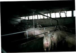 Заключение Приложения  Начало кормления свиноматок в общих станках