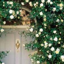 Climbing Plants For Shade Areas  Shaded Area Climbers Climbing Plant For Shade