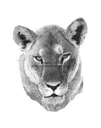 lioness face drawing. Brilliant Lioness Lioness Face Drawing  Google Search On Lioness Face Drawing Pinterest
