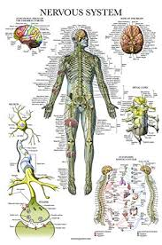 Anatomical Chart Posters