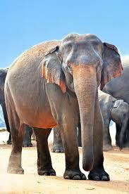 macro shot of gray elephants, indian ...