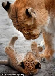 cute baby liger. Contemporary Liger A Baby Liger Is Seen Playing With Her Mother Throughout Cute Baby Liger