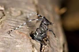 Asian Longhorned Beetle Description Impacts Control