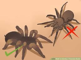 3 Ways To Identify A Tarantula Spider Wikihow
