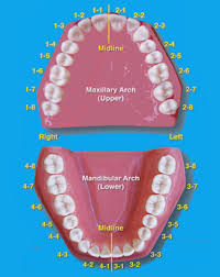 How To Count Teeth Chart Tooth Numbering System For Supernumerary Teeth Album On Imgur