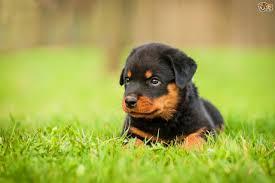 rottweiler dog mean. the rottweiler dog mean